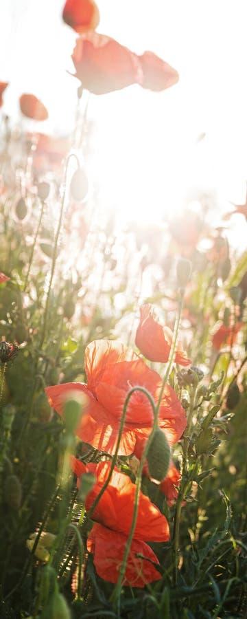 Czerwony maczka pole, pionowo panorama obraz royalty free