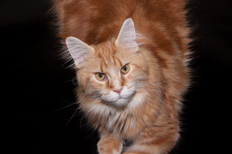 Czerwony Maine coon kot odizolowywający na czarnym tle obraz royalty free