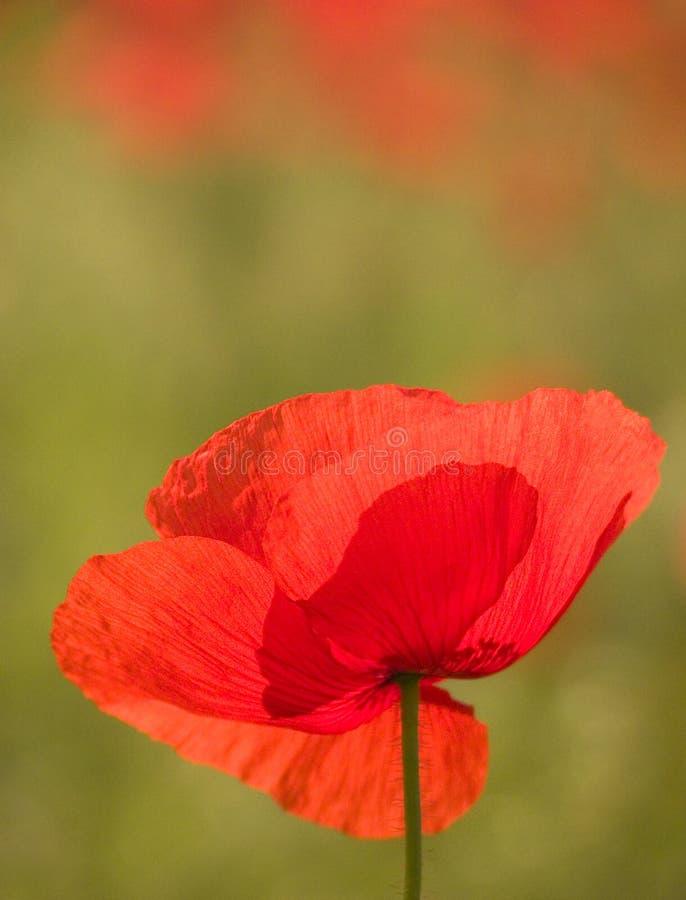 Czerwony Makowy Kwiat zdjęcia royalty free