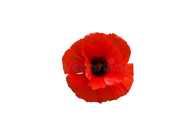 czerwony makowy kwiat odizolowywający na białym tle zdjęcie royalty free
