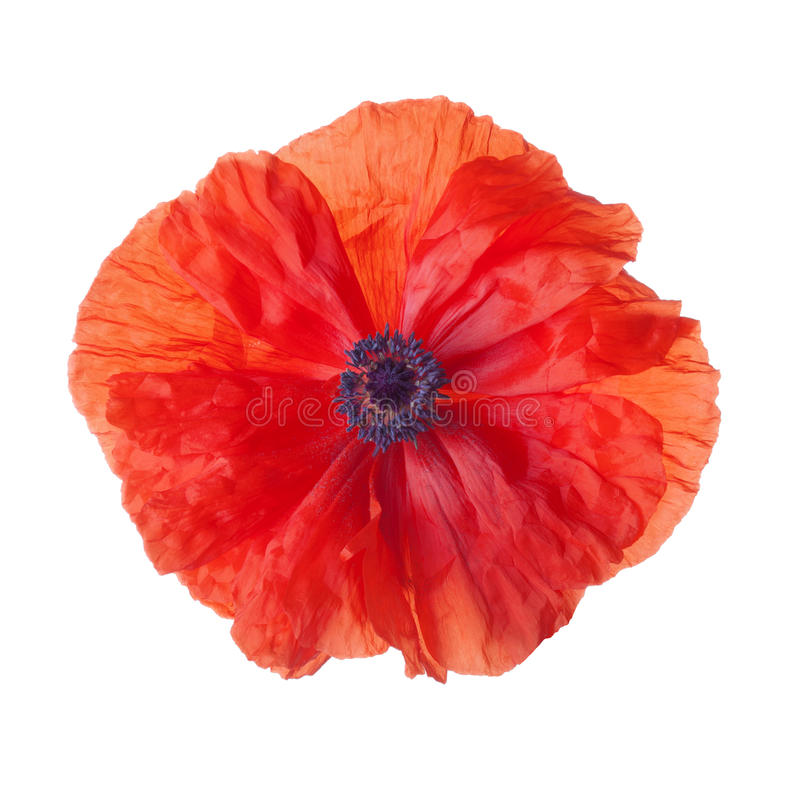 czerwony makowy kwiat odizolowywający na białym tle obraz royalty free