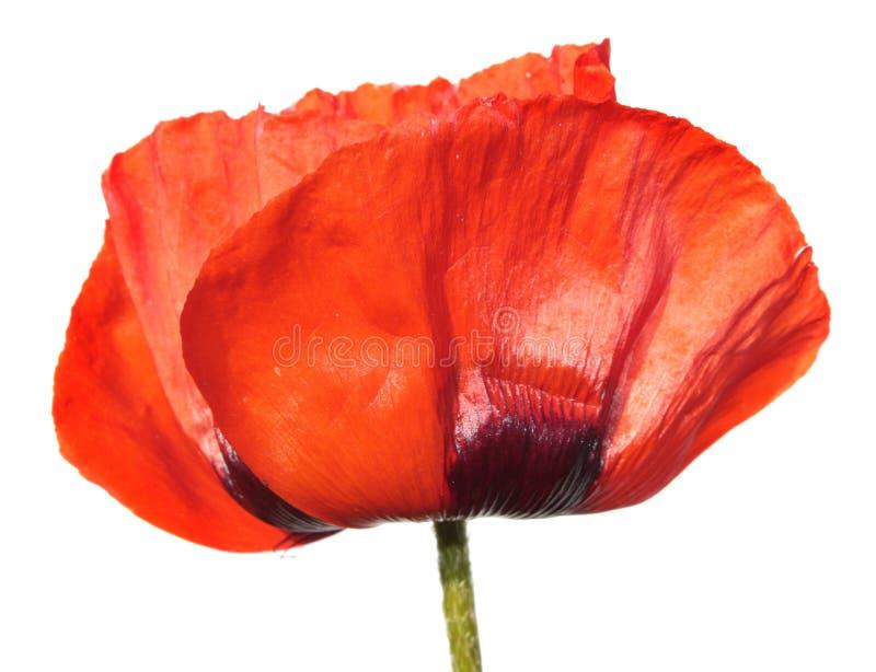 czerwony makowy kwiat odizolowywający na białym tle zdjęcie stock