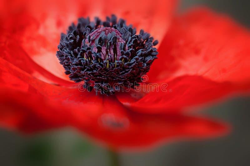 Czerwony makowy kwiat w kwiatów wielkich płatków makro- strzale fotografia royalty free