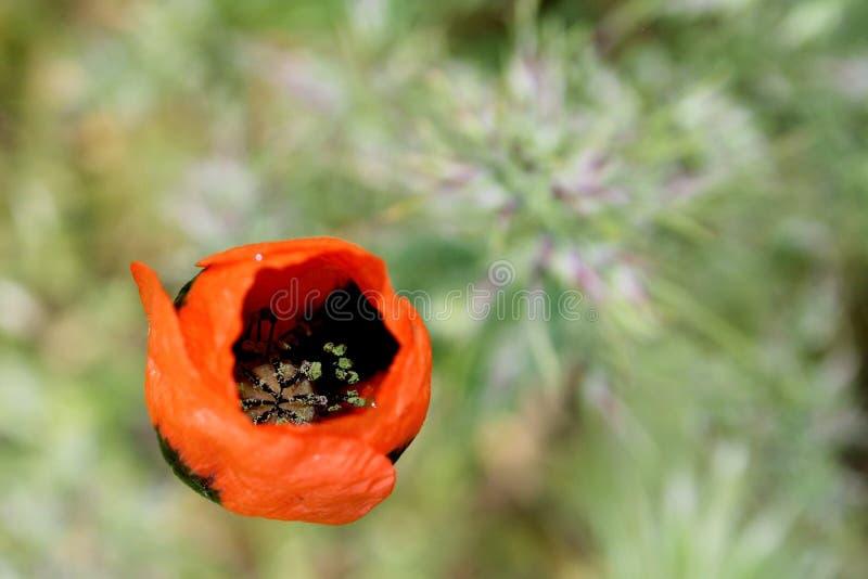 Czerwony makowy wiosna kwiatu bokeh zdjęcia stock
