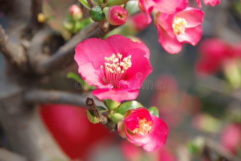 Czerwony Malus Spectabilis kwiat obraz royalty free