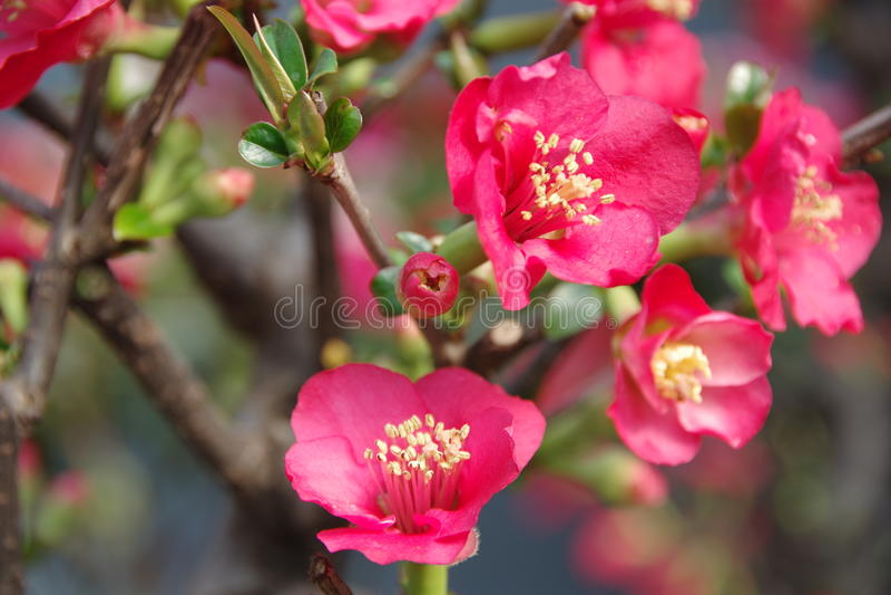 Czerwony Malus Spectabilis kwiat obraz stock