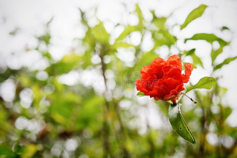 Czerwony Malvaceae zdjęcia stock