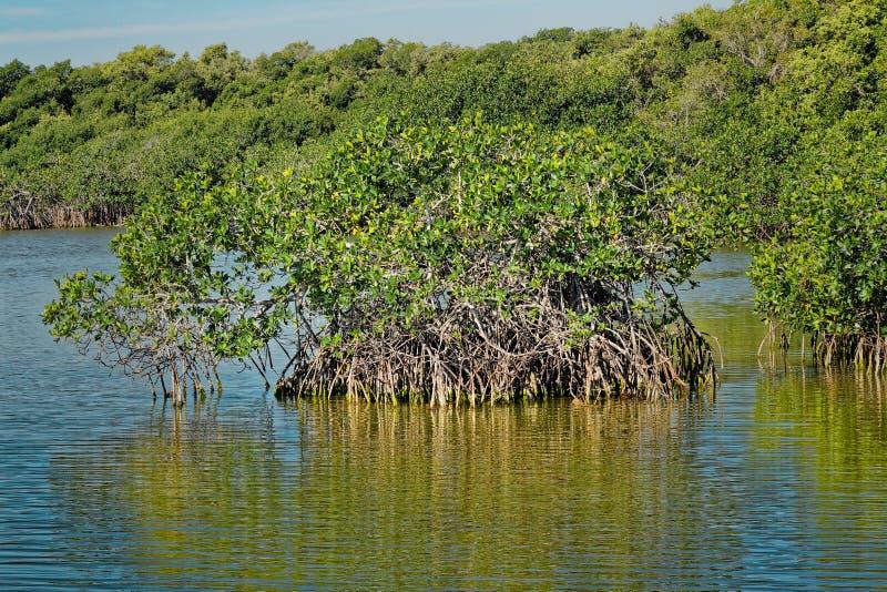 Czerwony mangrowe w błotach obrazy royalty free