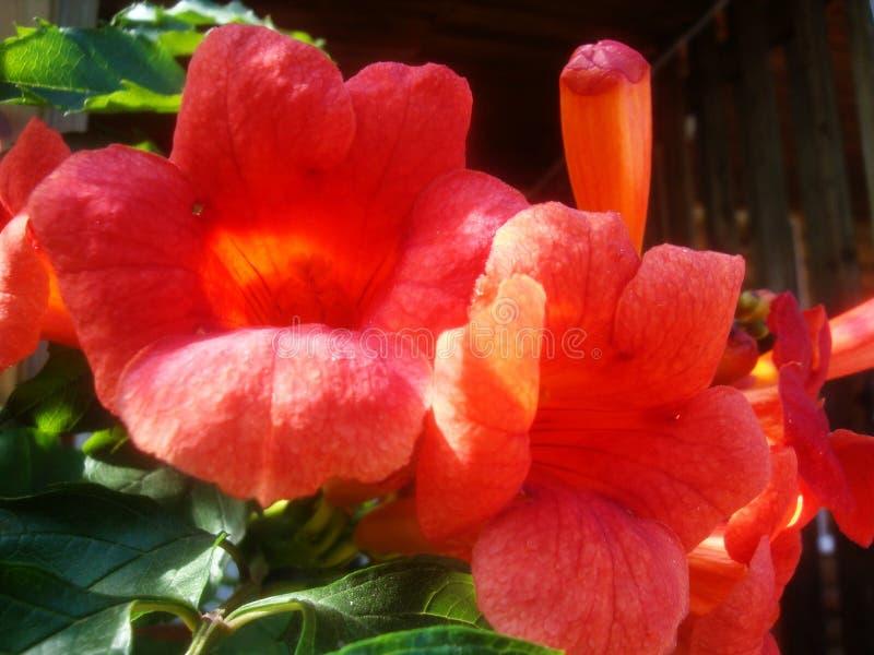 Czerwony mięsisty kwiatu dorośnięcie na drzewie w dzikim zdjęcia royalty free