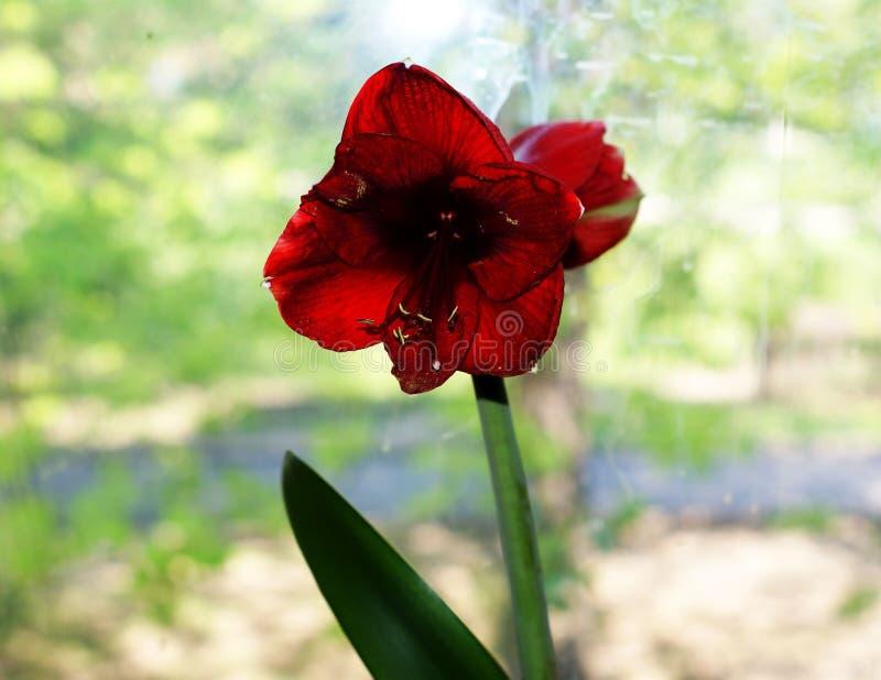 Czerwony mięsisty kwiatu dorośnięcie na drzewie w dzikim obraz stock