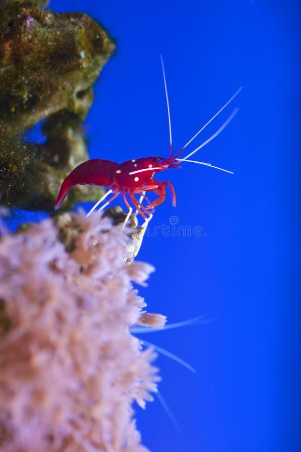 Czerwony morski krewetkowy Lysmata debelius fotografia stock
