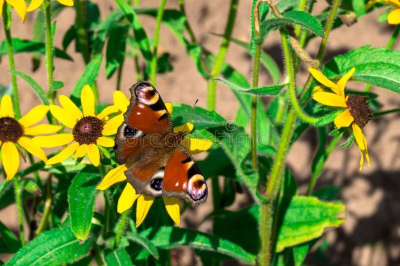 Czerwony motyl na żółtym kwiacie obrazy royalty free