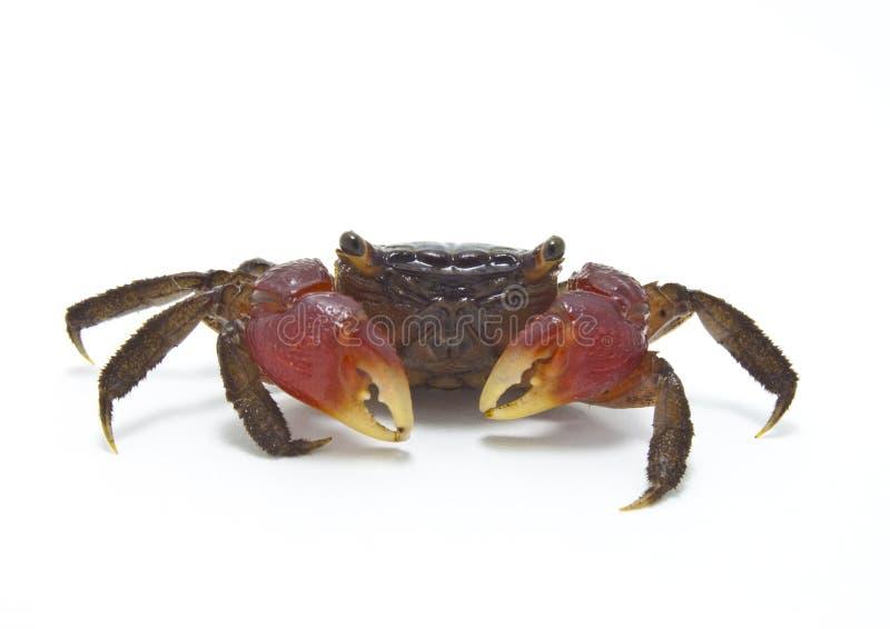 Czerwony Namorzynowy krab ODIZOLOWYWAJĄCY fotografia royalty free
