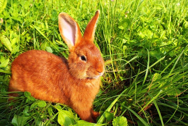 Czerwony Nowa Zelandia królik w zielonej trawie obraz stock
