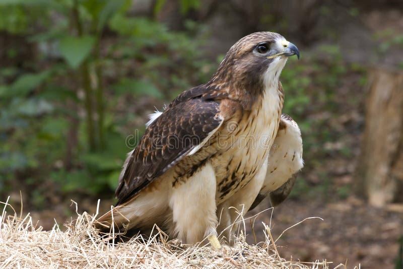 czerwony ogoniasta hawk zdjęcia stock