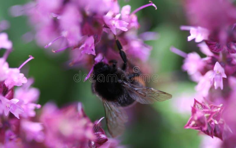 Czerwony Ogoniasty Bumblebee zdjęcia stock