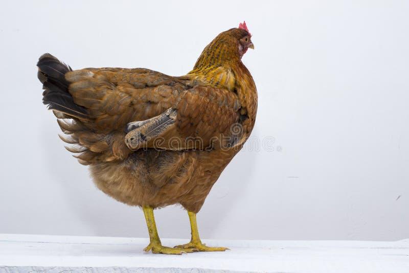 Czerwony opierzony kurczak stoi up na biel wietrzejącym deskowym tabletop Tylni ogonów piórka widoczni fotografia stock