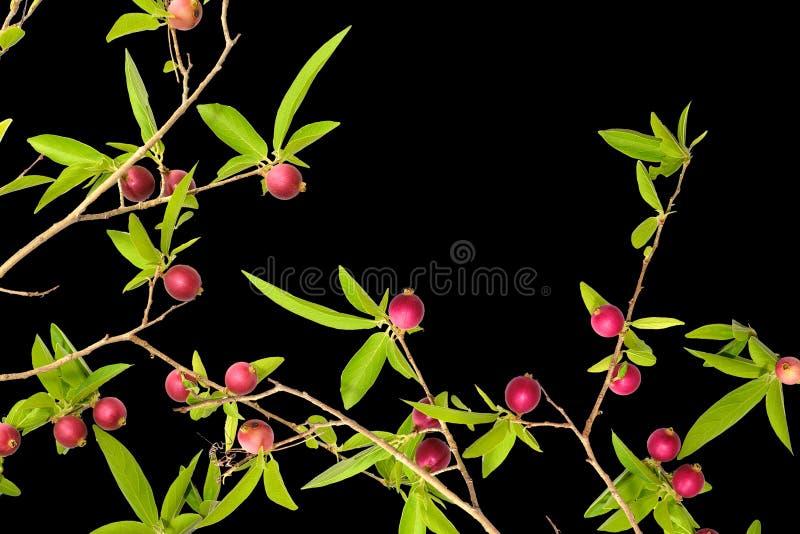 Czerwony owoc drzewo zdjęcia royalty free