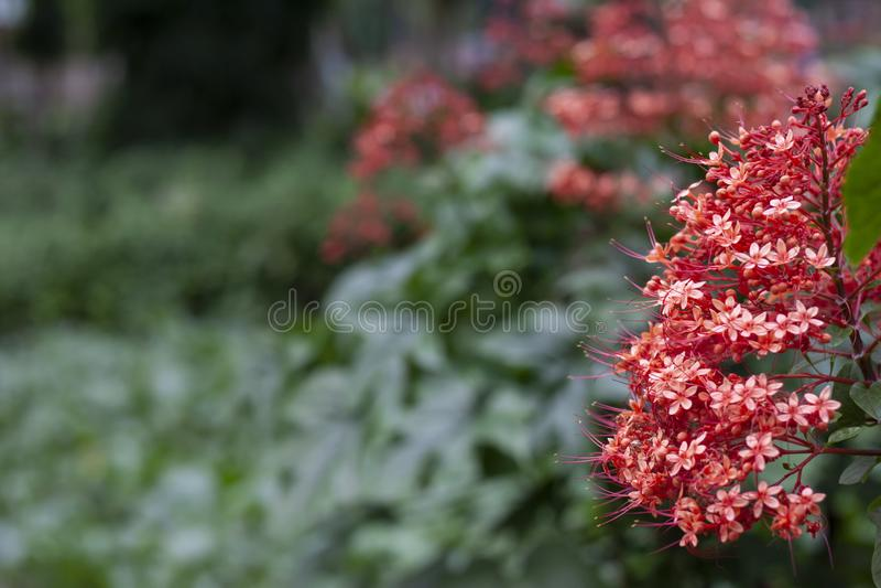Czerwony pagodowy kwiatu kwiat w ogródzie na plamy natury tle z bezpłatną przestrzenią obraz stock