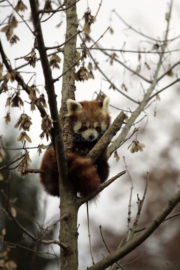 czerwony pandy obrazy royalty free