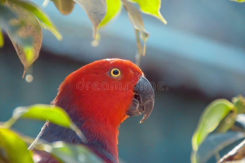 Czerwony papugi zakończenie up strzelał Piękna papuga wśród liści zdjęcie royalty free