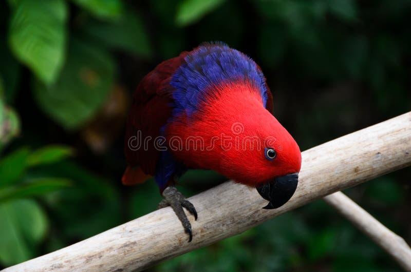 Czerwony papuzi spojrzenie fotografia royalty free