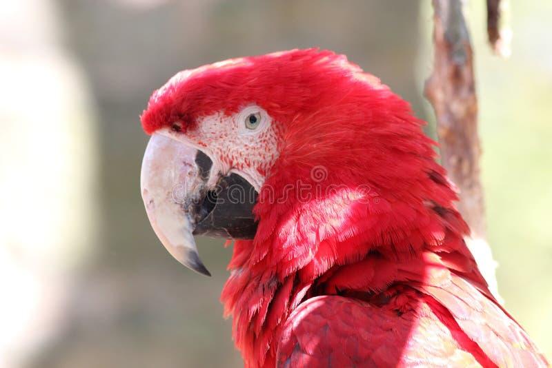 Czerwony parot, ptak arony Chloroptera & x28; Aronu chloropterus& x29; fotografia royalty free