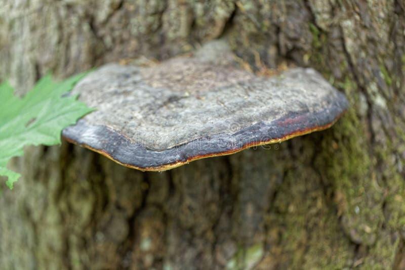 Czerwony pasowy conk Fomitopsis pinicola fotografia stock