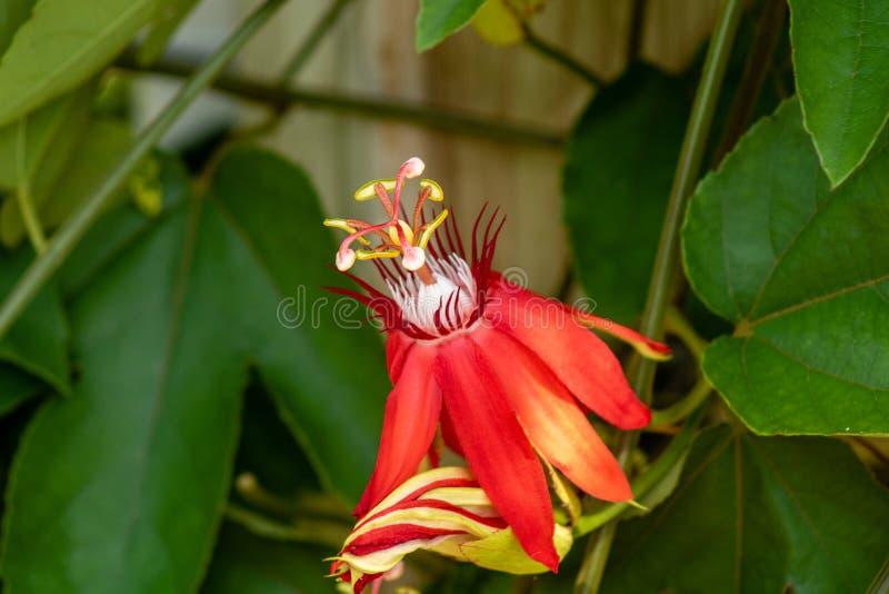 Czerwony passionflower zdjęcie royalty free