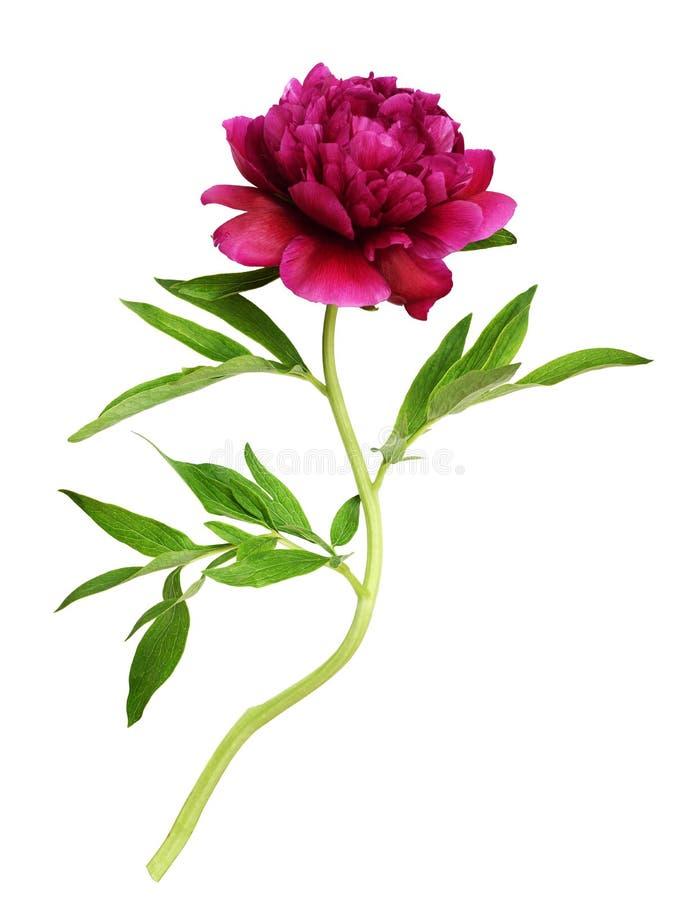 Czerwony peonia kwiat z zielonymi li??mi zdjęcia stock