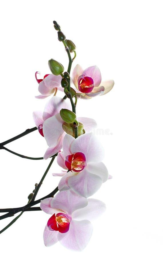 czerwony phalaenopsis white obrazy stock