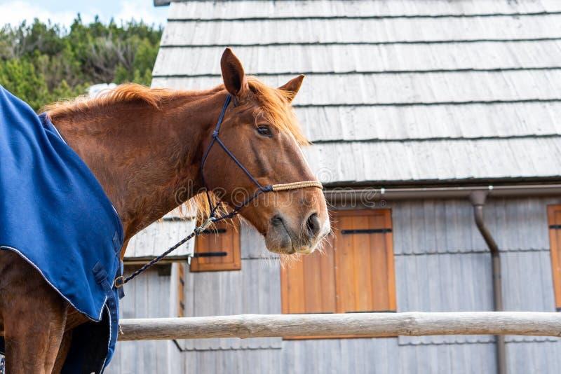 Czerwony piękny koński portret z kopii przestrzenią fotografia stock