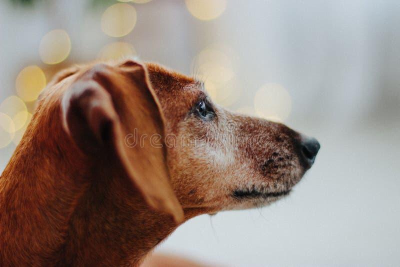 Czerwony pies Dachshund na tle Å›wiÄ…tecznym obrazy stock