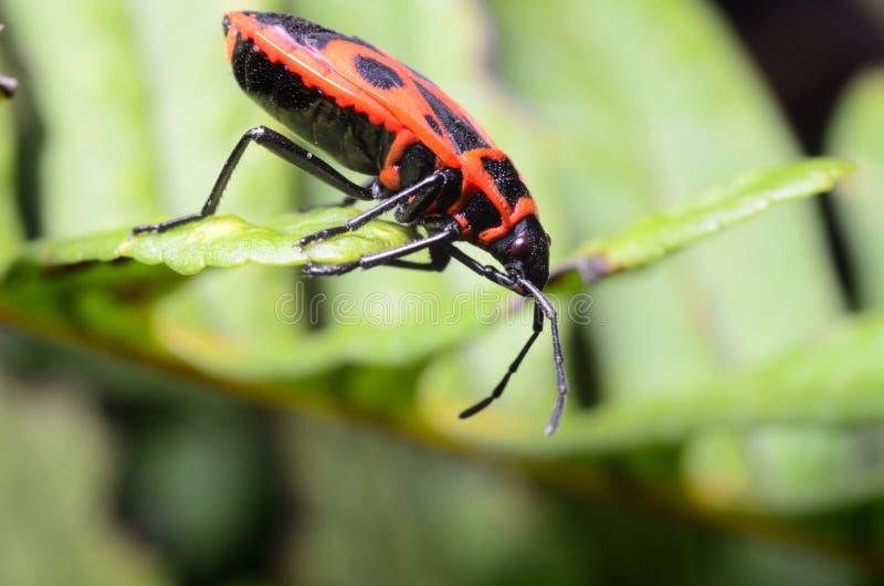 Czerwony pluskwy Pyrrhocoridae obraz stock