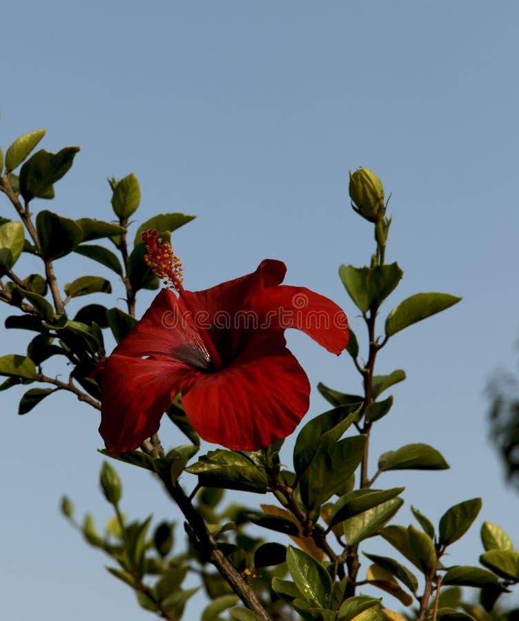 Czerwony poślubnika kwiat na niebieskiego nieba tle obrazy stock