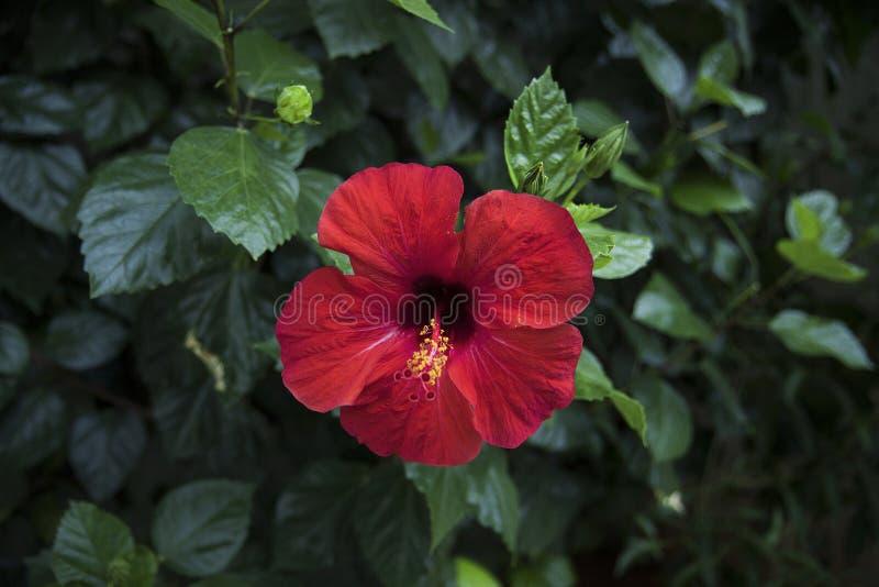 Czerwony poślubnika kwiat na zieleni opuszcza tło W tropikalnym ogródzie obraz royalty free