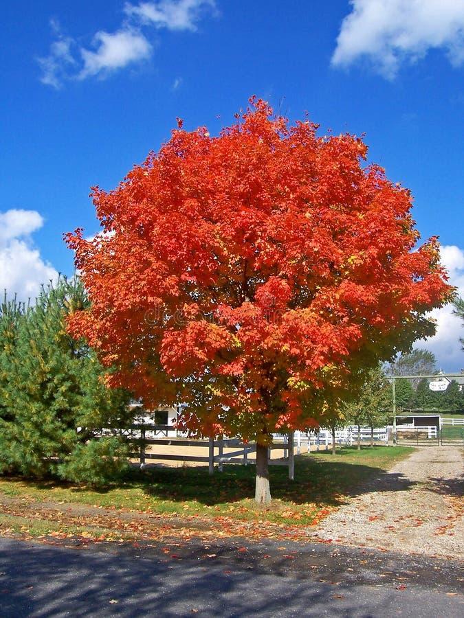 czerwony pożarowe drzewo obrazy stock