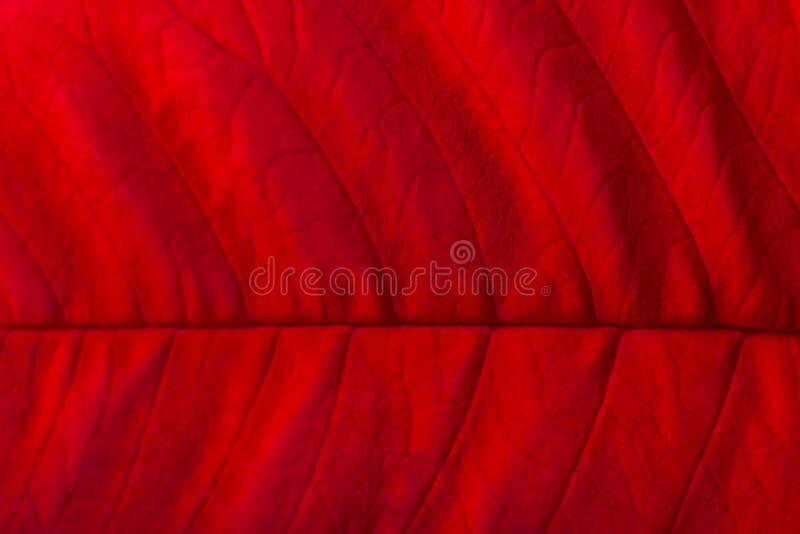 czerwony poinsecja liść makro- zdjęcia stock