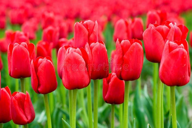Czerwony Pola Obraz Stock