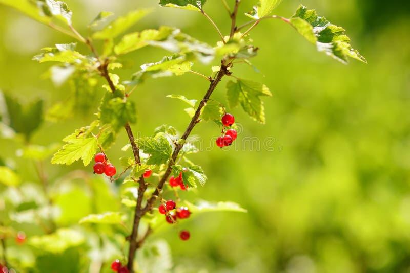 Czerwony porzeczkowy krzak z dojrzałymi jagodami przy pogodnym ogródem zdjęcie royalty free