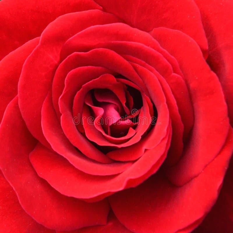 czerwony powstał blisko zdjęcie royalty free