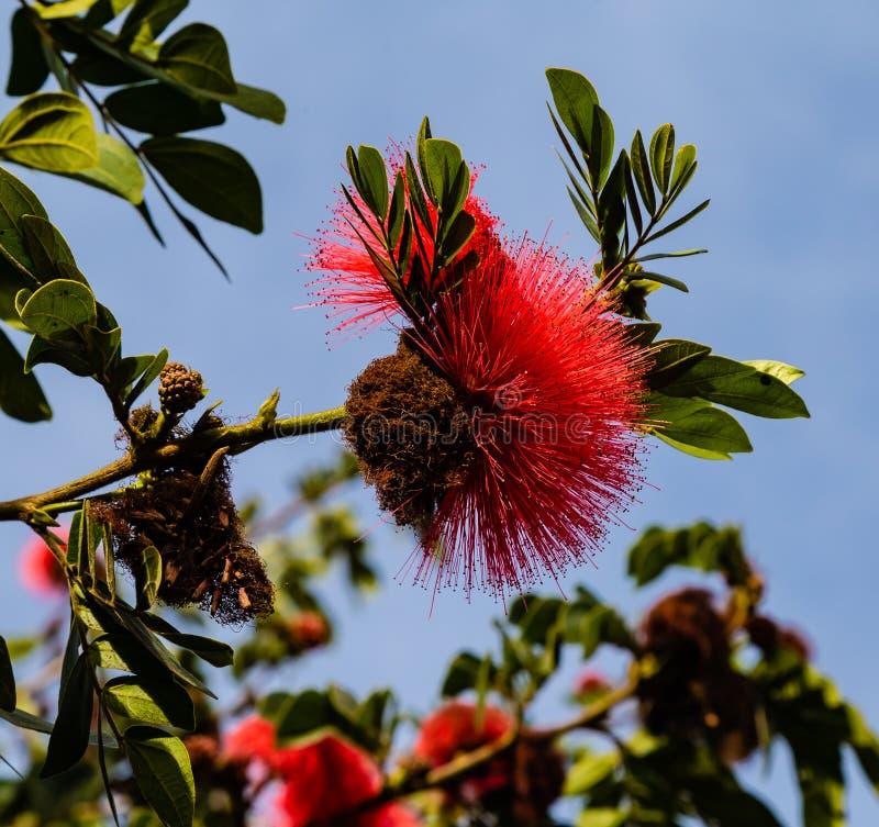 Czerwony prochowego chuchu kwiatu Calliandra drzewny haematocephala obrazy stock