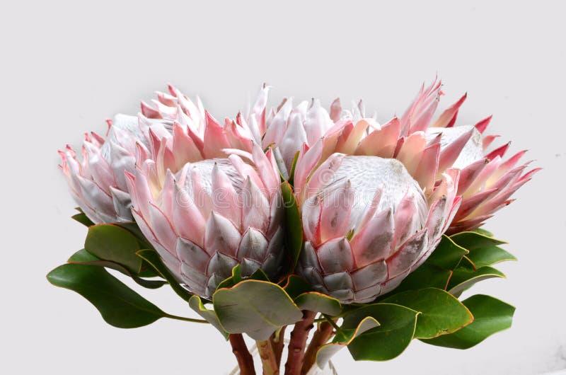 Czerwony protea kwiat dla tła fotografia stock