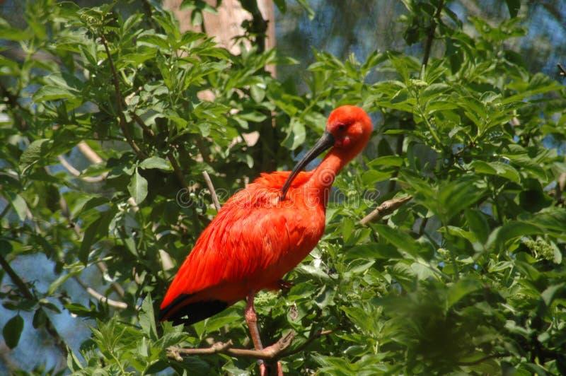 Czerwony ptak obraz royalty free