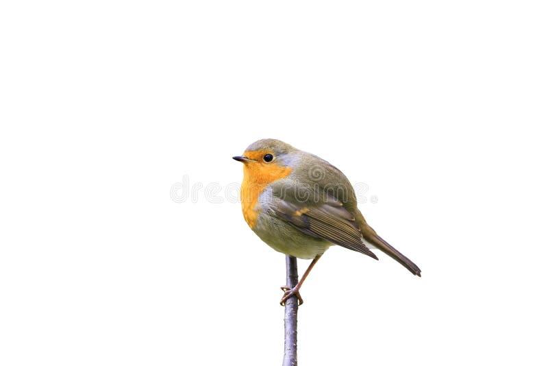 Czerwony ptasi rudzika obsiadanie na gałąź w parku na białym odosobnionym tle fotografia stock