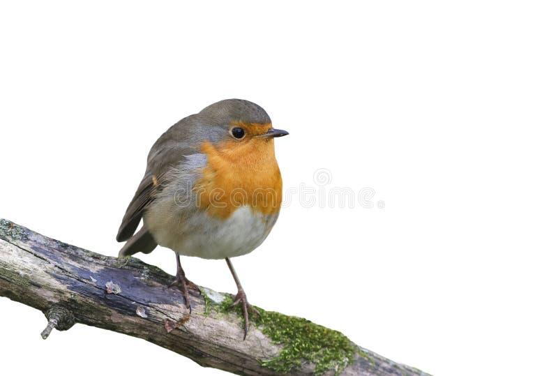 Czerwony ptasi rudzika obsiadanie na gałąź w parku na białym odosobnionym tle obrazy royalty free