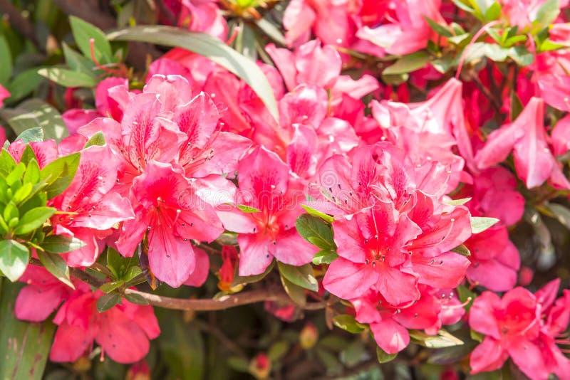Czerwony różanecznika kwiat obrazy stock