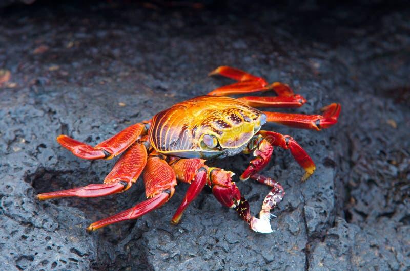 Czerwony rockowy krab zdjęcie stock
