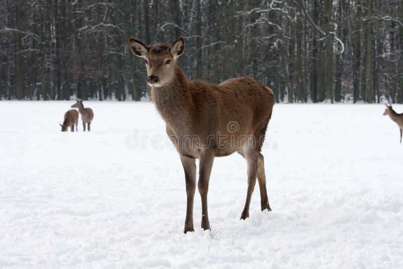 Czerwony rogacz na Zimnym mroźnym dniu w śniegu obraz stock