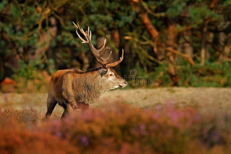 Czerwony rogacz, rutting sezon, evening słońce Jeleni jeleń, bellow majestatycznego potężnego dorosłego zwierzęcia na zewnątrz dr zdjęcie stock